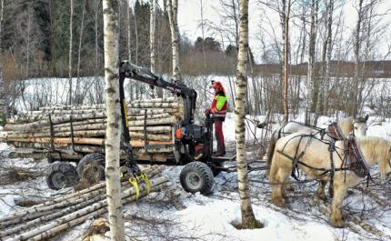Hevosmetsuri Miika Åfelt lastaa puukuormaa harvennuskoivikossa. Puukuormaa vetää kaksi työhevosta.