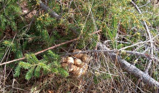 Koppelon pesässä on useita munia. Pesä on hieman piilossa kuusenoksien alla.
