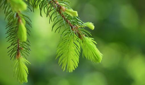 Vaaleanvihreitä kuusenkerkkiä.