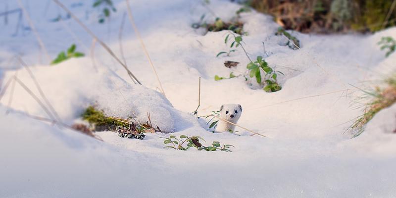 Lumikko kurkistaa mättään takaa. Maassa on paljon lunta.