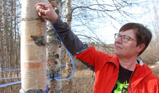 Puuhun porattuun reikään upotetaan holkki, josta lähtee letku mahlan keruuastiaan.Tiina Aittolampi kokeilee, onko holkki paikallaan.