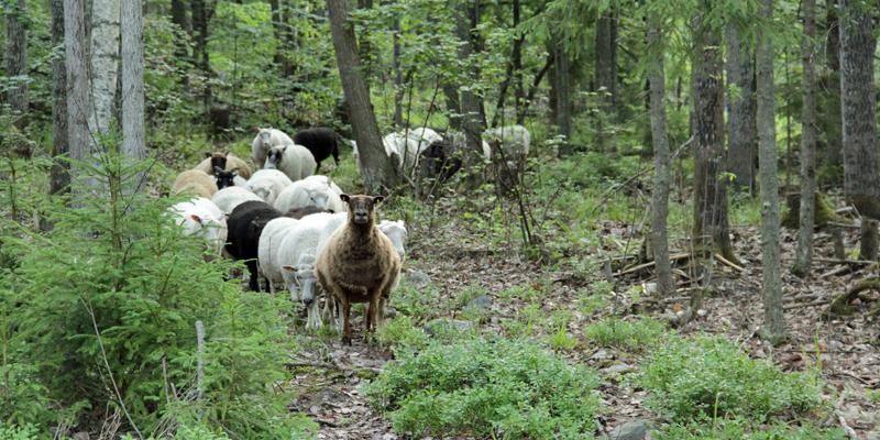 Ruskeita ja valkoisia lampaita laiduntaa metsässä.
