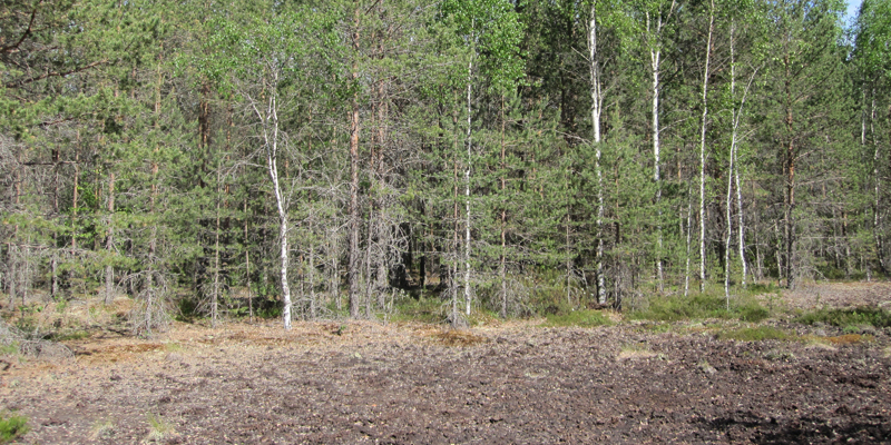 Metsää, joka on istutettu entiselle turvesuonpohjalle.