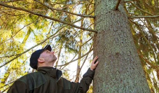 Mika Tuomolan metsätilan mailla kasvaa järeä kuusi. Tuomola katsoo kuusen latvaan päin.