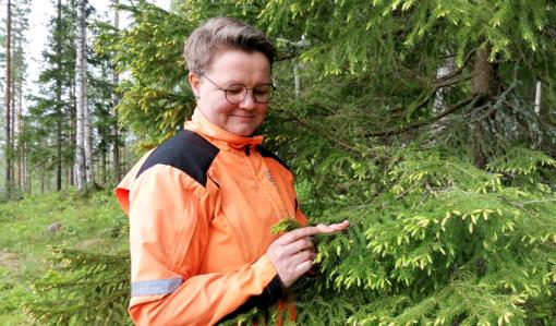 Anne Ruokonen katselee kuusenkerkkiä metsässä.