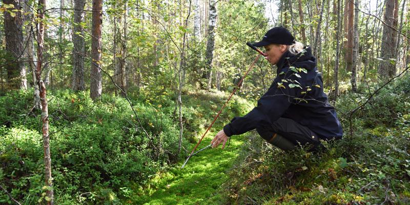 Miia Saarimaa mittaa mittakepillä ojan turvekerroksen syvyyttä suometsässä.