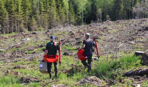 Miehet kävelevät kohti hakkuuaukiota pottiputkien, taimilaatikon ja taimivakkojen kanssa istuttamaan puita.