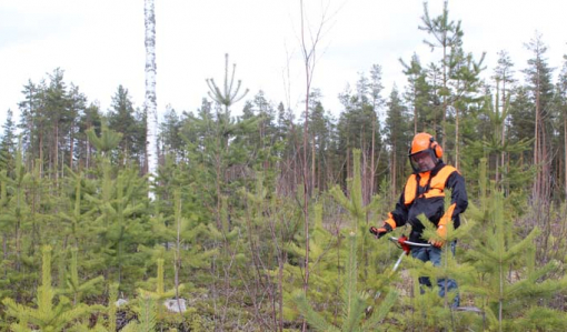Metsuri turvavarusteissaan taimikossa