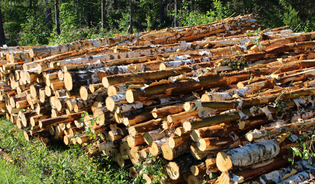 Kuvassa on puukasa käytäväharvennuksen jälkeen.