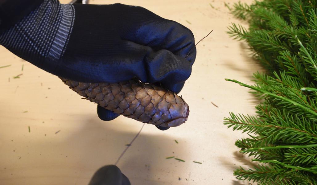 Lähikuvassa näytetään, kuinka rautalangan voi pujottaa kuusenkävyn suomujen alta.