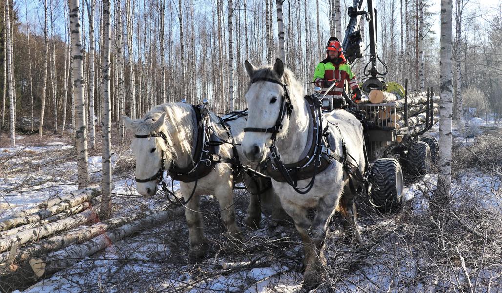Hevosmetsuri Miika Åfelt ja kaksi työhevosta vetää puukuormaa harvennuskoivikosta.