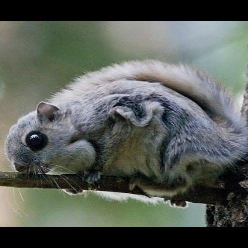 @metsakeskus: 🌛 Yöeläjänä tunnettu liito-orava on joutunut tukalaan tilaan. Sen kanta pienenee ja pienenee. Suojelemalla liito-oravaa autamme samalla myös suurta määrää muita metsien lajeja.  Metsäkeskus on mukana @metsahallitus_forststyrelsen Liito-orava-LIFE-hankkeessa. Teemme mm. liito-oravan elinympäristöt huomioivia metsänhoitosuunnitelmia hankkeessa mukana oleville kohteille. 🌳  Kurkkaa video liito-oravasta Metsähallituksen luontopalveluiden YouTube-kanavalta 👉 Metsähallitus Parks & Wildlife Finland 🎥  Lisää infoa työstä liito-oravan hyväksi osoitteessa: www.metsa.fi/liito-orava-life  #liitoorava #liitooravalife  Kuva: Ari Seppä / Vastavalo