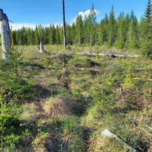Metsäkeskuksen työntekijä Kaisa teki retken kotipuolensa metsiin.  Samalla hän tarkasti, miten taimikon varhaishoito oli...