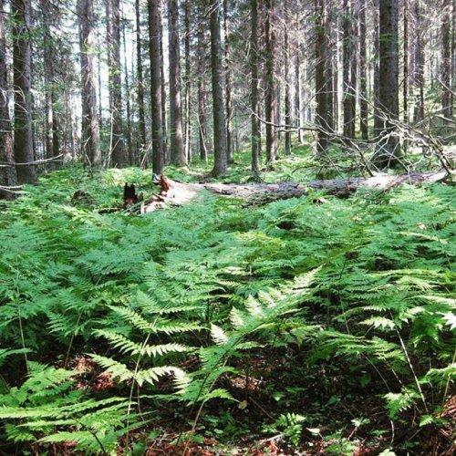 @metsakeskus: Hyvää luonnon monimuotoisuuden päivää! 💚  Luonnon monimuotoisuudella eli biodiversiteetillä tarkoitetaan elämän koko kirjoa; lajien sisäistä perinnöllistä muuntelua, lajien runsautta sekä niiden elinympäristöjen monimuotoisuutta. 🦋🌱 Meillä Metsäkeskuksessa luonnon monimuotoisuutta edistetään muun muassa lukuisien eri hankkeiden avulla. Esimerkiksi Lajiturva-hankkeen päätavoitteena on lisätä lajiesiintymätiedon avulla sellaista metsän- ja luonnonhoitoa, joka turvaa uhanalaisten lajien esiintymiä ja populaatioita. Juuri jatkoa saaneessa Monimetsä-hankkeessa taas on kehitetty talousmetsien luonnonhoitoa ottamaan jokapäiväisessä toiminnassa huomioon #monimuotoisuus ja #ekosysteemipalvelut. 🌲Ensimmäinen kuva on vanhasta jalasjärveläisestä metsästä, jossa on lahopuuta. Lahopuu on tärkeä elinympäristö monille eliölajeille. Jättämällä enemmän lahopuuta ja etenkin vanhoja lehtipuita talousmetsiin, voidaan parantaa useiden eliölajien tilaa ja lisätä monimuotoisuutta. 🌺 Toisessa kuvassa on rauhoitettu, lehdoissa viihtyvä tikankontti. Viimeisimmän uhanalaisuusarvion mukaan lähes puolet Suomen uhanalaisista metsälajeista elää nimenomaan lehdoissa, joten lehtojen hoito ja suojelu on tärkeä asia.  #lajiturva #monimetsä #uhanalainen #rauhoitettu #suojelu #metsoohjelma #luonto #luonnonhoito #biodiversiteetti #lahopuu #tikankontti  p.s. Lue lisää teemapäivästä esim. YK-liiton nettisivuilta.