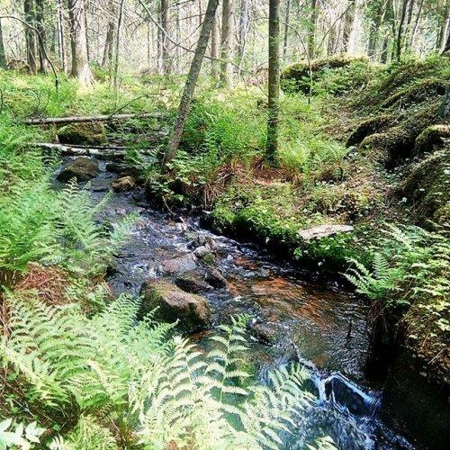 """@metsakeskus: Tällä viikolla olemme kuvanneet videoita metsälain 10-pykälän mukaisessa """"erityisen tärkeässä elinympäristössä"""". Paikkana oli hieno, monimuotoinen puronvarsikohde Kuopiossa. 🌲  Videot 10-pykälätulkinnoista ja hakkuutarkastuksista julkaistaan alkusyksystä.  #metsä #luonto #monimuotoisuus #metsälaki #10pykälä #puro #puronvarsi"""