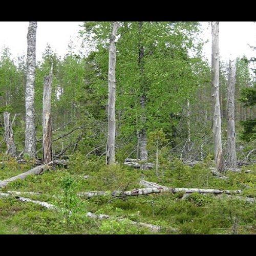 @metsakeskus: Metsäkeskus seuraa luonnonhoidon laatua vuosittain tehtävillä arvioinneilla. Vuonna 2018 arvioiduista kohteista 84 % oli luonnonhoidollisesti erinomaisia tai hyviä. Esimerkiksi säästöpuita oli jätetty hakkuissa suositeltua vähimmäismäärää enemmän ja vesiensuojelu oli toteutettu erinomaisesti valtaosalla ainespuun ja energiapuun korjuukohteista. 👍 Lue lisää ➡️ Metsäkeskus.fi #luonnonhoito #metsänhoito #vesiensuojelu