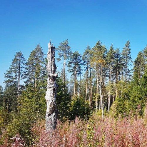 @@metsakeskus: Metsänhoidossa voidaan huomioida samanaikaisesti sekä luontoarvot että taloudelliset intressit. Neljännen polven metsänomistaja Tuomas Korpijaakko jättää harvennuksissa metsään tilaa pökkelöille, pensaikoille ja eläimille. Hän haluaa jättää metsät hyvään kuntoon myös seuraavalle sukupolvelle 🌲🌳🌱 Lue lisää talousmetsien luonnonhoidosta Metsään-lehdestä: metsaan-lehti.fi.  #metsänhoito #luonnonhoito #luontoarvot #monimuotoisuus #metsänomistaja