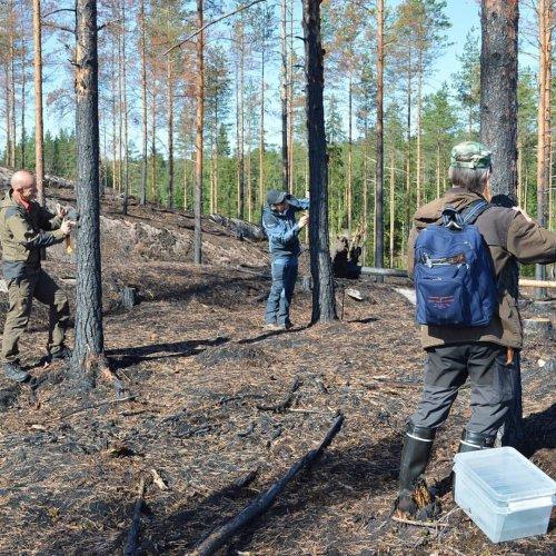 Tiesitkö, että #kulokauniainen on ensimmäisiä metsäpaloalueelle saapuvista paloelinympäristöjä tarvitsevista hyönteisist...