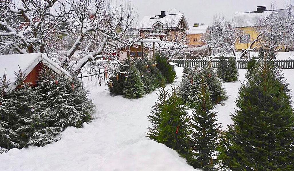 Joulukuusia on omakotitalon pihalla. Maassa ja puiden oksilla on paljon lunta.