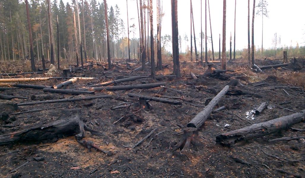 Säästöpuuryhmä kulotuksen jälkeen. Maassa ja pystyssä on mustia, palaneita ja hiiltyneitä puunrunkoja.