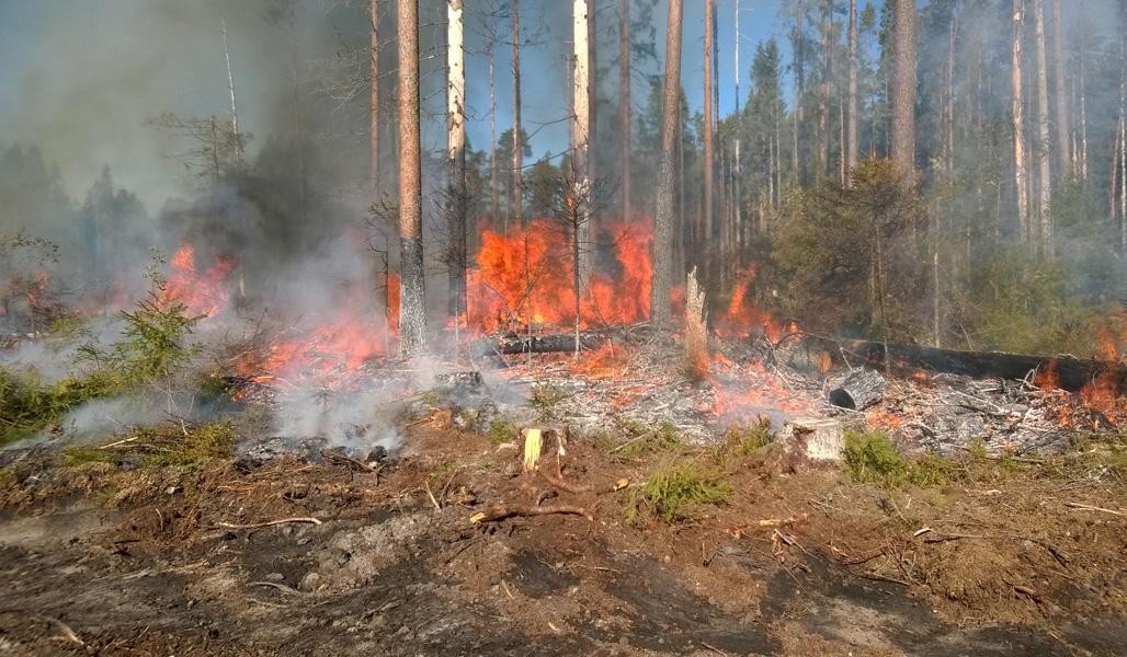 Tulenliekit nousevat kulotettavan säästöpuuryhmän keskeltä.