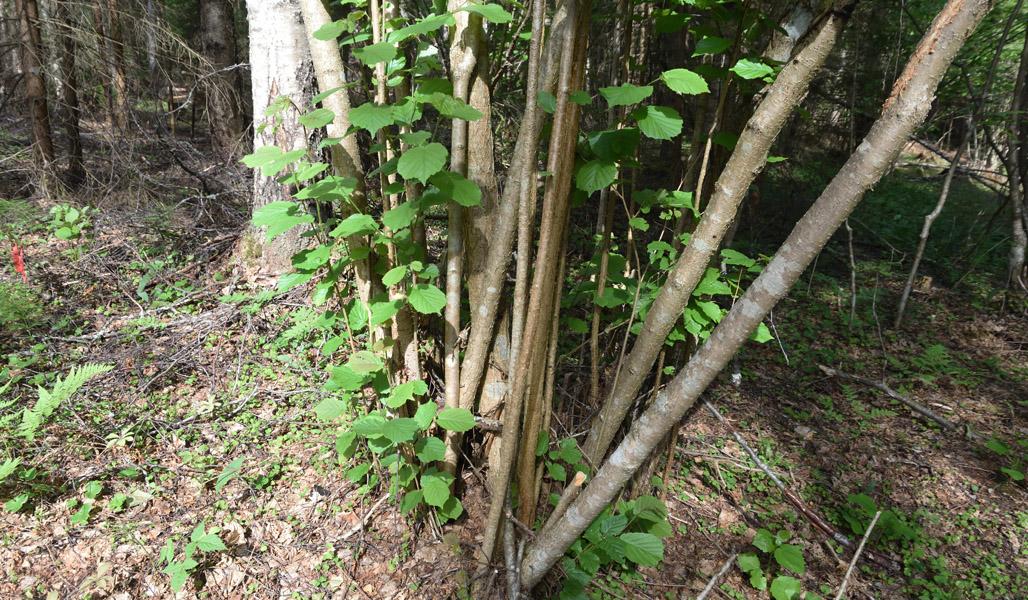 Pähkinäpensas on kasvattanut uusia vesoja.