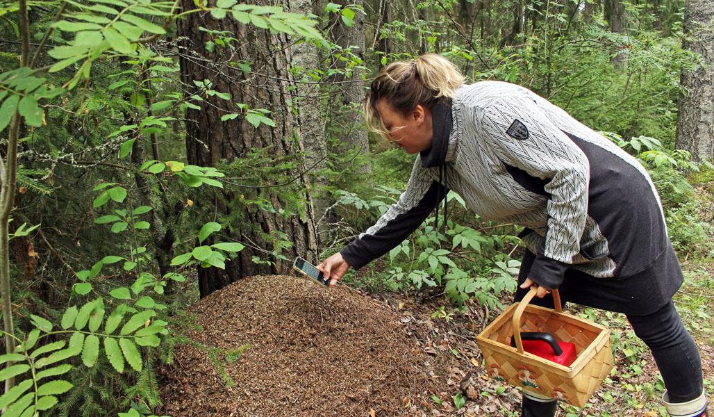 Matleena Pulkkinen kumartuu ottamaan kännykällään kuvaa isosta muurahaispesästä. Toisessa kädessä hänellä on marjakori.