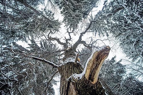 Luminen raita kuvattuna alaviistosta latvaan päin. Ympärillä on myös kuusten latvuksia.