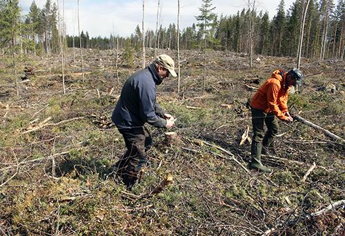 Teemu Lamberg ja Olli Kursula kulkevat hakkuuaukolla. He tekevät metson pesälle suojauksen langasta ja kuitunauhasta. Maahan veistellään saippuaa.