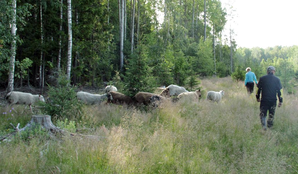 Satu Alajoki ja Pasi Aholaita katselevat metsänreunassa laiduntavia lampaitaan.