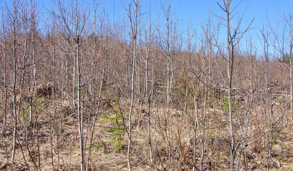 Kuvassa on kuusentaimikkoa, jossa varhaisperkaus on jäänyt tekemättä ja taimet ovat jääneet vesakon keskelle.