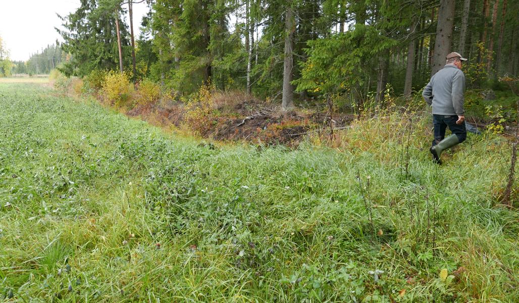 Kuvassa on riistapeltoa ja Seppo Helminen kävelee pois päin metsään oikealle.