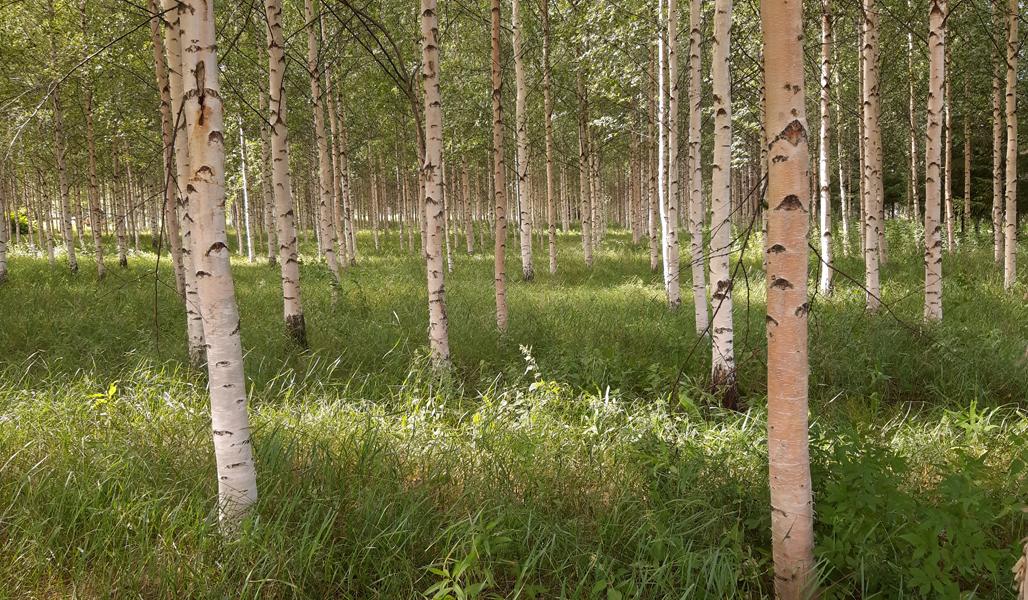 Kesäinen kuva rauduskoivikosta, joka on istutettu entiselle pellolle.