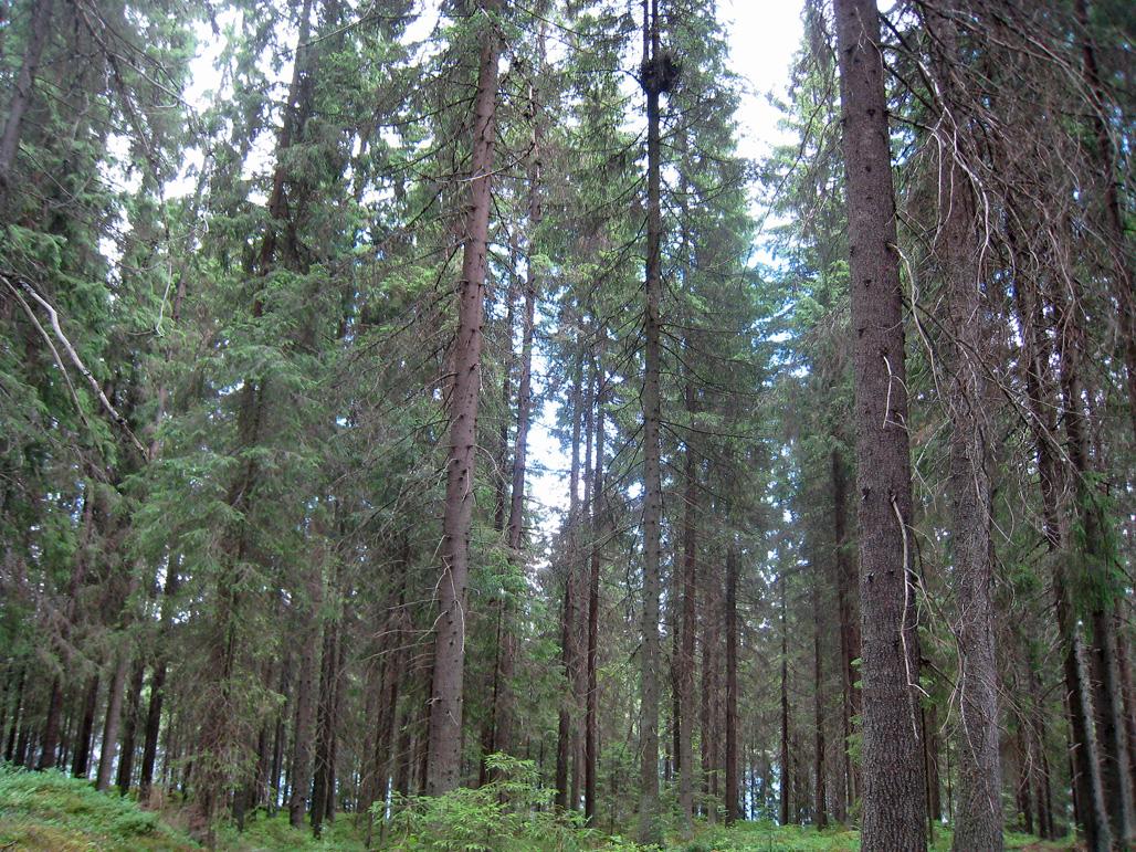 Kanahaukan pesä korkealla puussa kuusikossa.