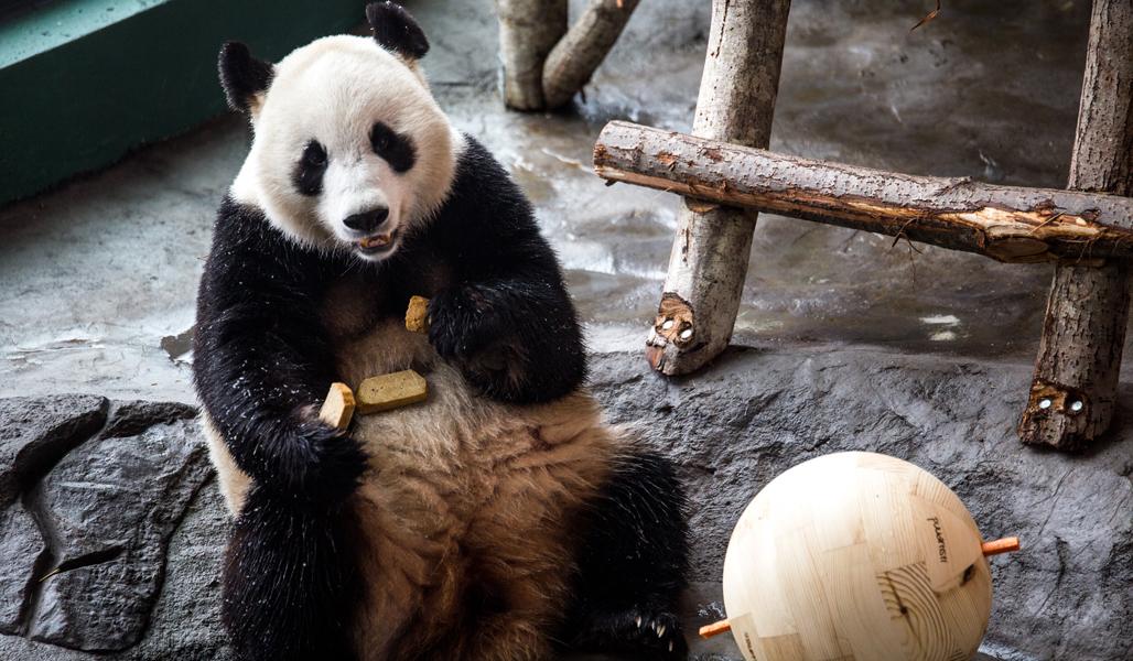 Ähtärin panda istuu maassa ja vieressä on lelupuupallo.