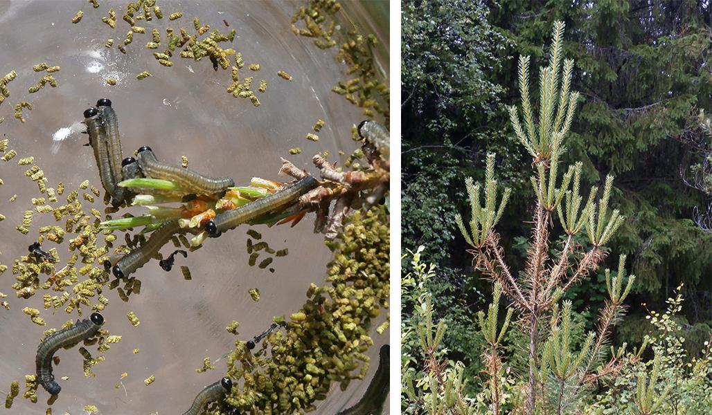 Vasemmanpuoleisessa kuvassa on ruskomäntypistiäisiä. Oikeanpuoleisessa kuvassa on mänty, jonka neulasia pistiäiset ovat syöneet.