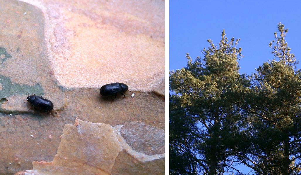 Vasemmanpuoleisessa kuvassa on kaksi ytimennävertäjää lähikuvassa puunkaarnalla. Oikeanpuoleisessa kuvassa on männyn latvustoa, jonka ytimennävertäjä on tuhonnut.