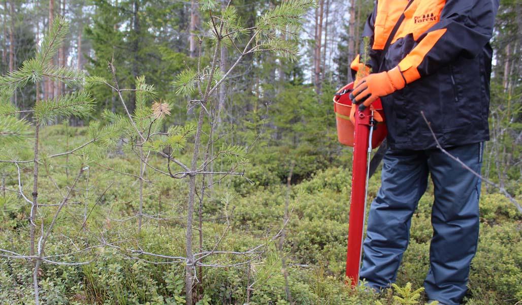 Metsuri istuttaa taimea pottiputkella metsässä